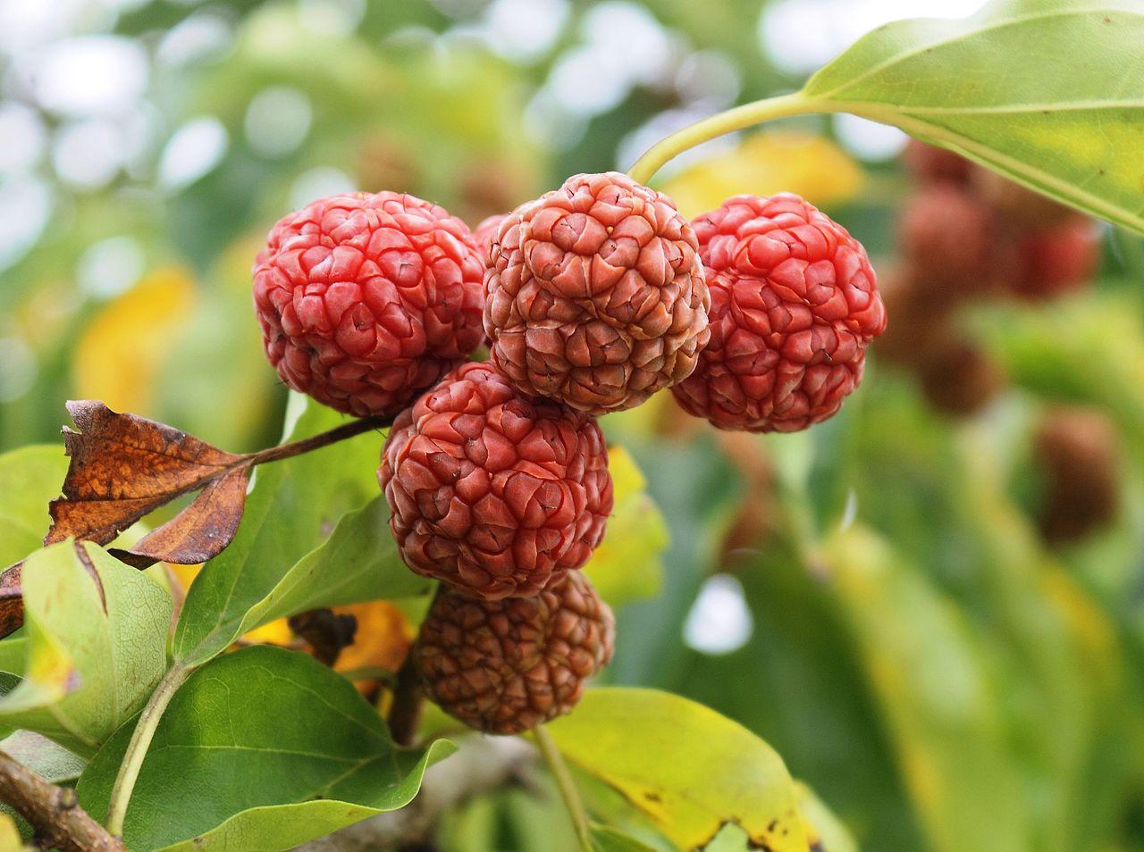 Mulberry Chinese Cudrania tricuspidata Seedless The