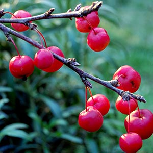 Crab Apple Red Fruit