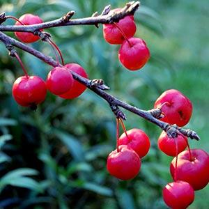 Crab Apple Red Fruit