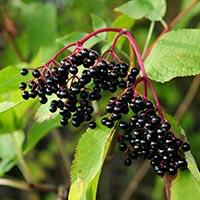 Elder (Sambucus nigra) Samnor – The Agroforestry Research Trust