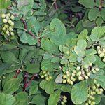 koreanbarberry.jpg